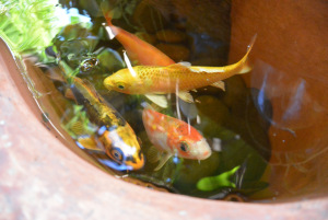 The happy fish of Happy Home Hostel in Chiang Mai